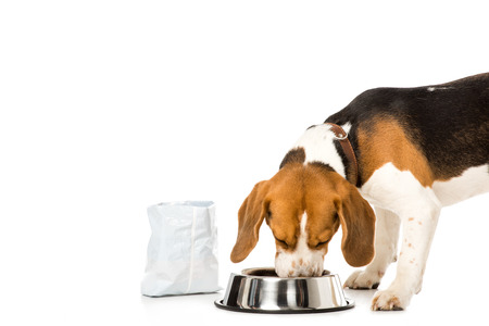 Foto de beagle dog eating dog food isolated on white - Imagen libre de derechos