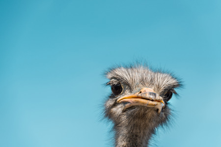 Close up portrait of beautiful ostrich against blue sky background