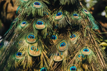 Foto per Close-up view of beautiful feathers on peacock. - Immagine Royalty Free