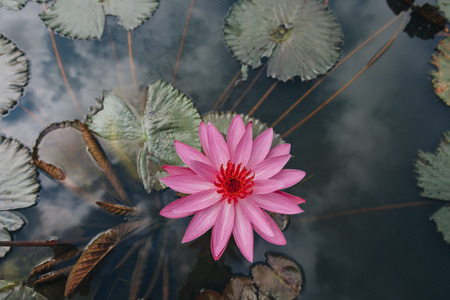 Foto de Top view of beautiful pink lotus flower with green leaves in pond - Imagen libre de derechos