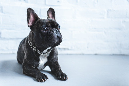 Photo pour Cute Frenchie dog lying on floor and looking up - image libre de droit