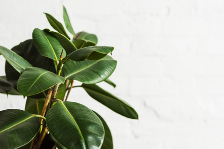 Photo for Rubber fig Ficus elastica plant with green leaves by white wall - Royalty Free Image