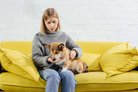 Photo for beautiful woman sitting on sofa and giving treat cute pembroke welsh corgi dog - Royalty Free Image