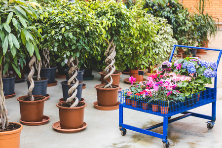 Photo for Metal cart with blooming flowers by ficus trees in pots - Royalty Free Image