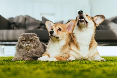 Foto de cute welsh corgi dogs and british longhair cat on floor at home - Imagen libre de derechos