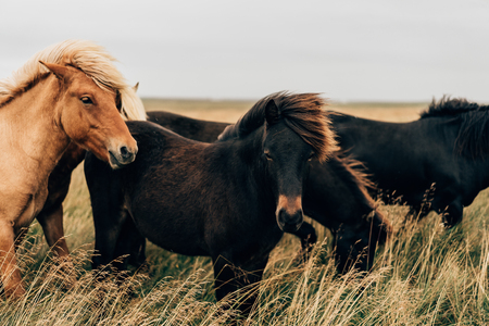Foto de beautiful black and brown horses on pasture in Iceland - Imagen libre de derechos