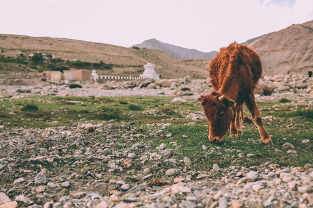 Photo for brown cow grazing on grass in Indian Himalayas, Ladakh region - Royalty Free Image