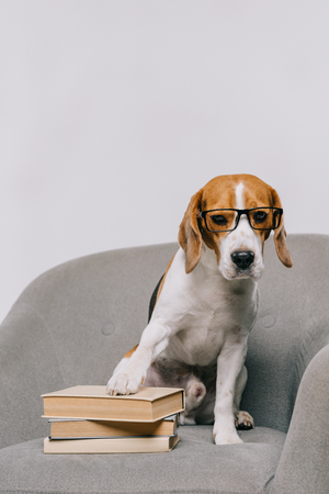 Photo pour adorable beagle dog in glasses sitting in armchair with books isolated on grey - image libre de droit
