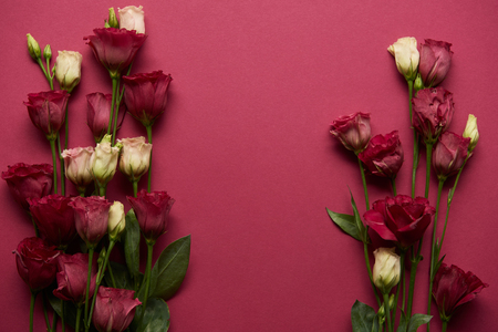 Photo for blooming eustoma flowers with green leaves on ruby background - Royalty Free Image