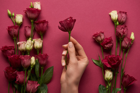 Photo for cropped view of woman holding eustoma flower in hand on ruby background - Royalty Free Image