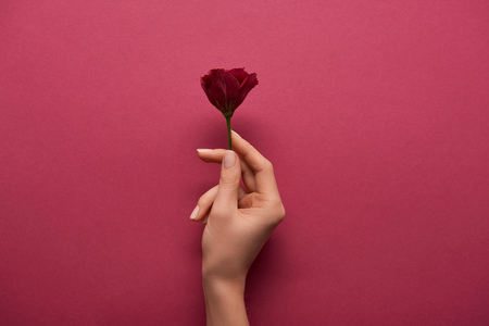 Photo for cropped view of woman holding flower in hand on ruby background - Royalty Free Image