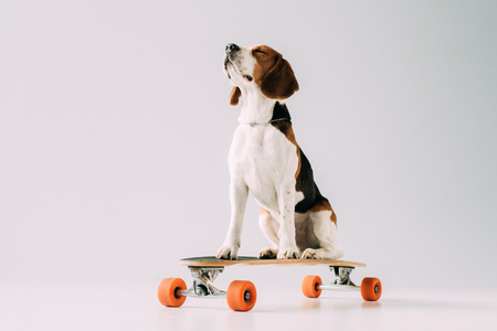 Photo pour cute beagle dog sitting on skateboard on grey background - image libre de droit