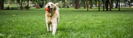 Foto de funny golden retriever dog running with ball on green lawn - Imagen libre de derechos