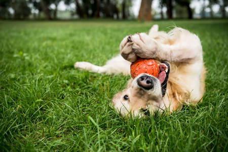 Foto de selective focus of golden retriever dog playing with rubber ball on green lawn - Imagen libre de derechos