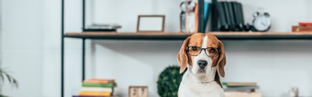 Photo pour Panoramic shot of beagle dog in glasses looking at camera - image libre de droit