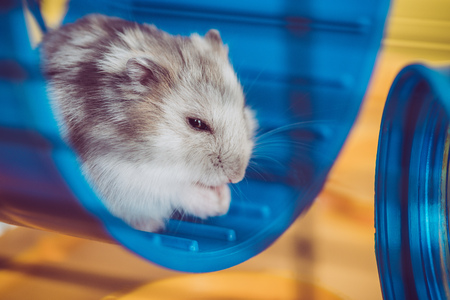 Photo for Selective focus of adorable hamster sitting in blue plastic wheel in sunshine - Royalty Free Image