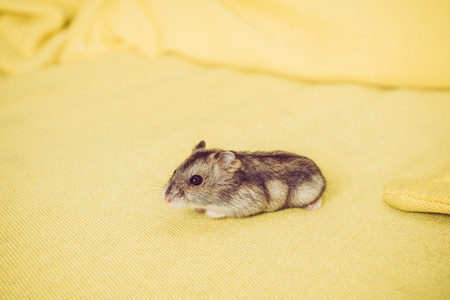 Photo for Adorable grey furry hamster sitting on yellow textured background - Royalty Free Image