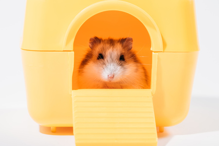 Photo for Adorable funny hamster sitting in yellow pet house and looking at camera on grey background - Royalty Free Image