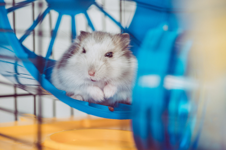 Photo for Selective focus of cute furry hamster sitting in blue plastic wheel - Royalty Free Image