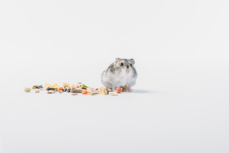 Photo for Adorable fluffy hamster near dry pet food on grey background with copy space - Royalty Free Image