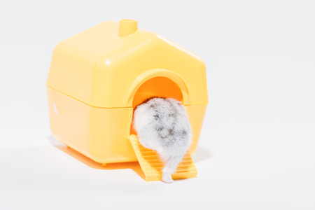 Photo for Back view of funny hamster getting into yellow pet house on grey background - Royalty Free Image
