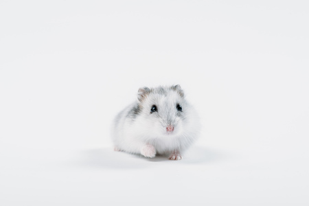 Photo for Funny fluffy hamster looking at camera on grey background with copy space - Royalty Free Image