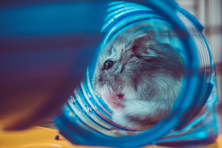 Photo for Selective focus of cute hamster sitting in blue plastic tunnel - Royalty Free Image
