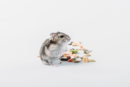 Photo for Cute furry hamster near dry pet food on grey background with copy space - Royalty Free Image