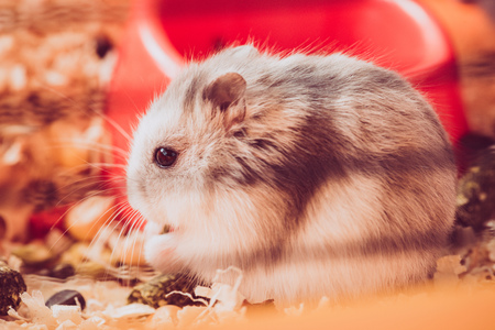 Photo for Selective focus of adorable fluffy hamster sitting in wooden filings - Royalty Free Image