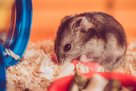Photo for Selective focus of adorable grey hamster sitting in wooden filings - Royalty Free Image