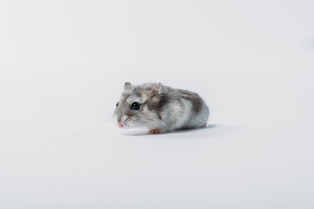 Photo for Adorable grey fluffy hamster on grey background with copy space - Royalty Free Image