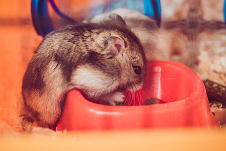 Photo for selective focus of cute hamster eating from orange plastic bowl - Royalty Free Image