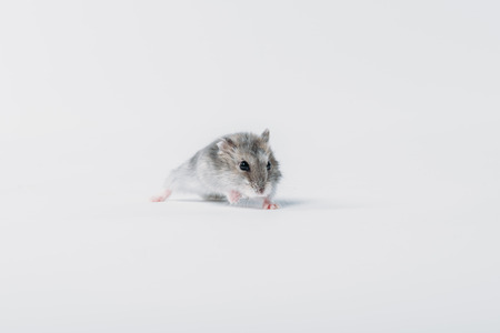 Photo for one cute, grey fluffy hamster on grey background with copy space - Royalty Free Image