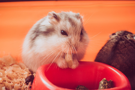 Photo for adorable fluffy hamster eating nut near orange plastic bowl - Royalty Free Image