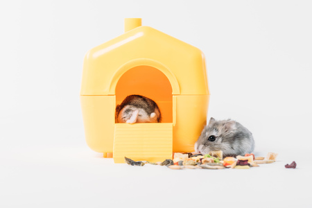 Photo for funny fluffy hamster near dry pet food and one hamster inside yellow pet house on grey - Royalty Free Image
