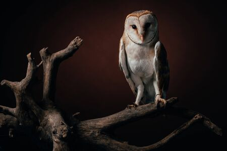 Photo for cute wild barn owl on wooden branch on dark background - Royalty Free Image