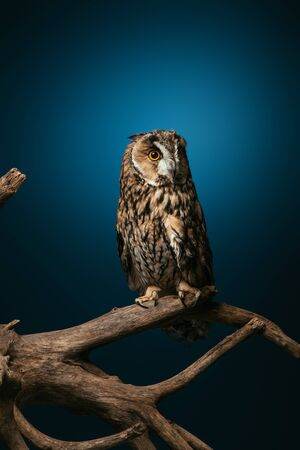 Photo for cute wild owl on wooden branch on dark blue background - Royalty Free Image
