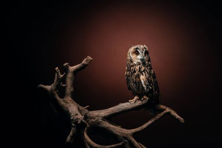 Photo for cute wild owl sitting on wooden branch on dark background - Royalty Free Image