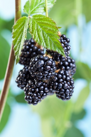 Photo for Blackberries growing and ripening on the twig - natural fruits against blue sky - Royalty Free Image