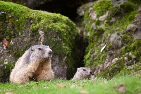 Marmot (Marmota marmota)
