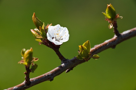 Foto de Spring - blossoming apple tree against lovely green background - Imagen libre de derechos