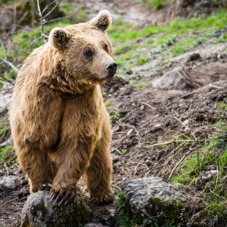 Photo pour Brown Bear (Ursus arctos) - image libre de droit