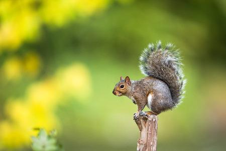 Photo pour Eastern Grey Squirrel (Sciurus carolinensis) - image libre de droit