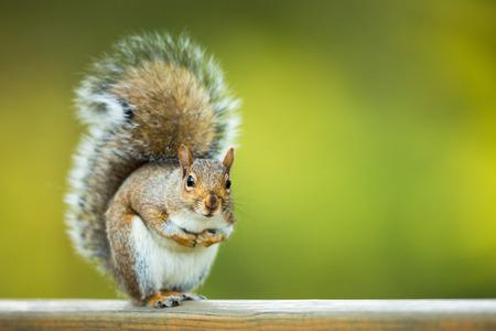 Foto de Eastern Grey Squirrel (Sciurus carolinensis) - Imagen libre de derechos