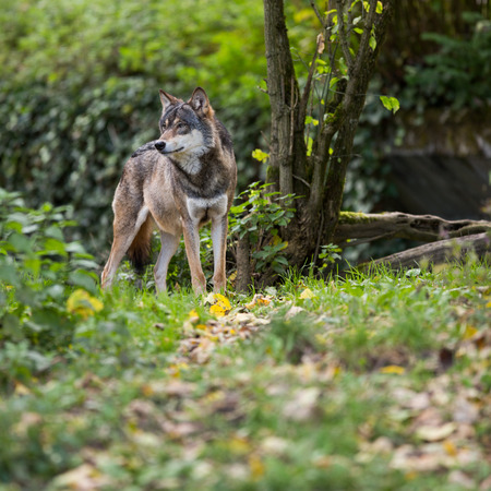 Photo for Gray/Eurasian wolf (Canis lupus) - Royalty Free Image