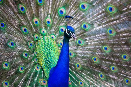 Photo pour Splendid peacock with feathers out (Pavo cristatus) (shallow DOF; color toned image) - image libre de droit