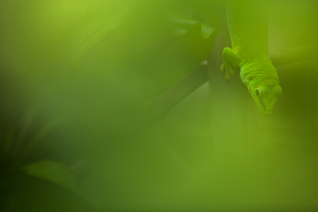 Foto de Close up view of a green Gecko in natural environnement - Imagen libre de derechos