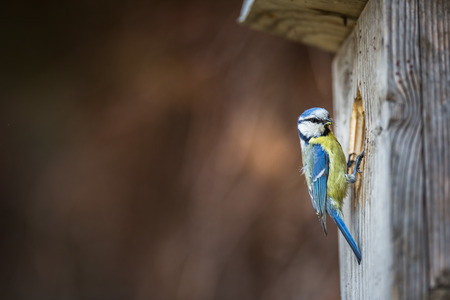 Photo for Blue tit Parus caeruleus on a bird house it inhabits - feeding the young. Shallow depth of field and background blurred - Royalty Free Image