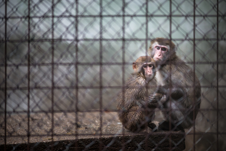 Foto de Sad monkeys behind bars in captivity - Imagen libre de derechos