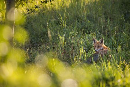 Photo pour Red fox in its natural habitat - wildlife shot - image libre de droit